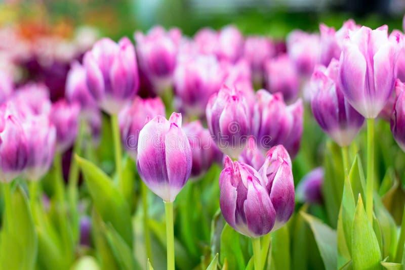 Tulip Flower porpora nel giardino Bello mazzo dei tulipani Tulipani variopinti immagine stock libera da diritti