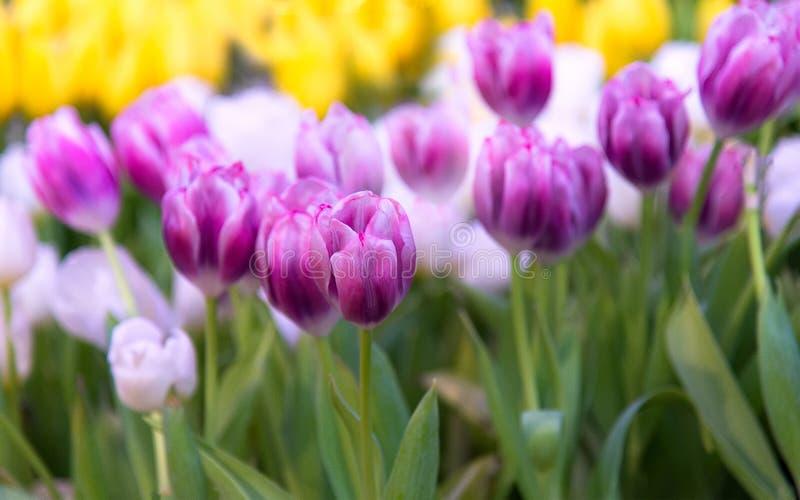 Tulip Flower pourpre et blanche dans le jardin Beau bouquet des tulipes photo stock