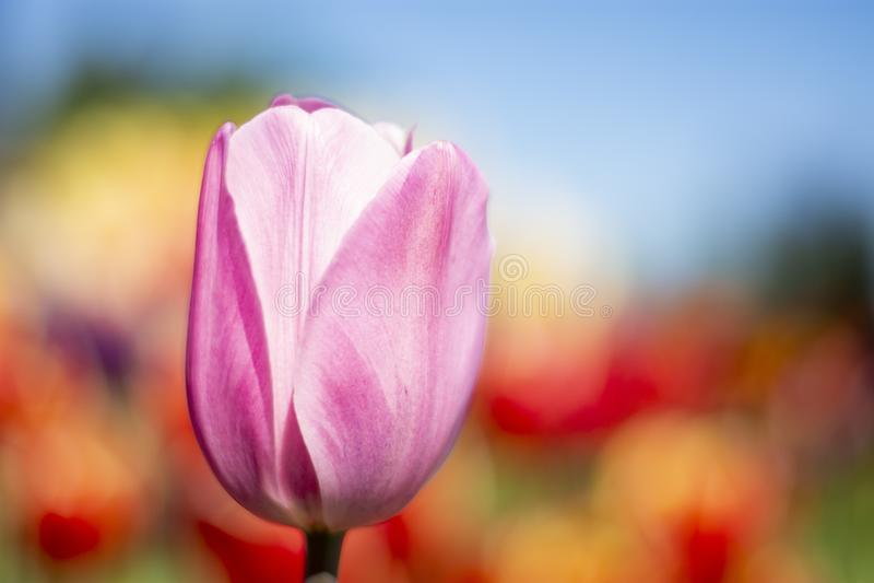 Tulip Flower rose avec le fond brouillé rouge, orange, jaune, bleu, vert horizontal image stock