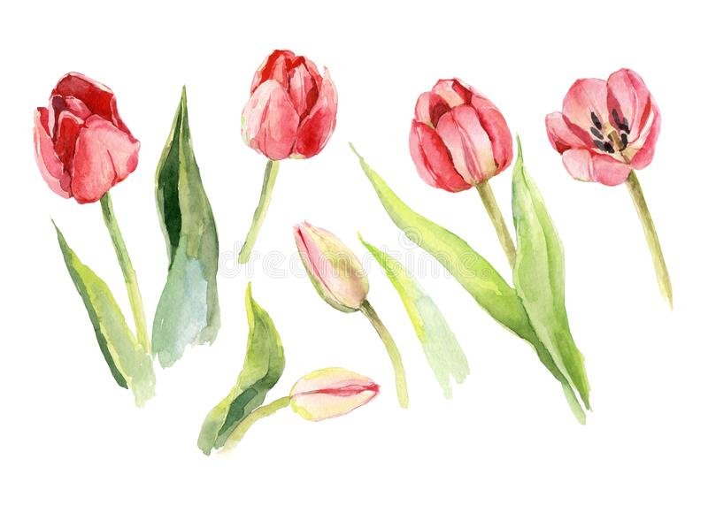 Tulip flower watercolor illustration. Floral decorative nature art stock illustration