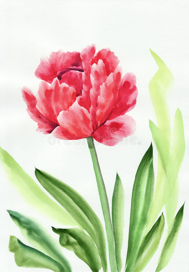 Tulip flower. Watercolor painting of Tulip. Asian style stock illustration