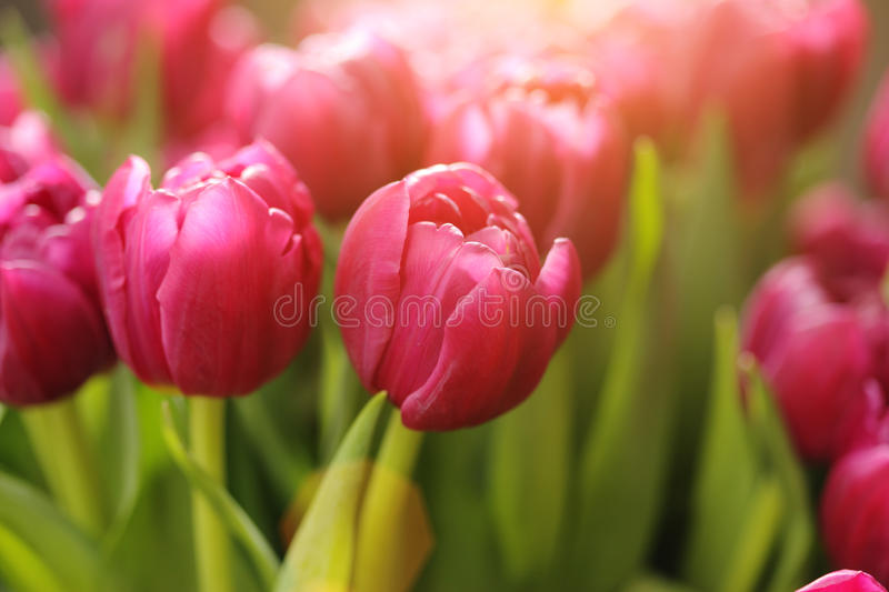 Tulip flowers. Beautiful red tulip flowers background royalty free stock photo