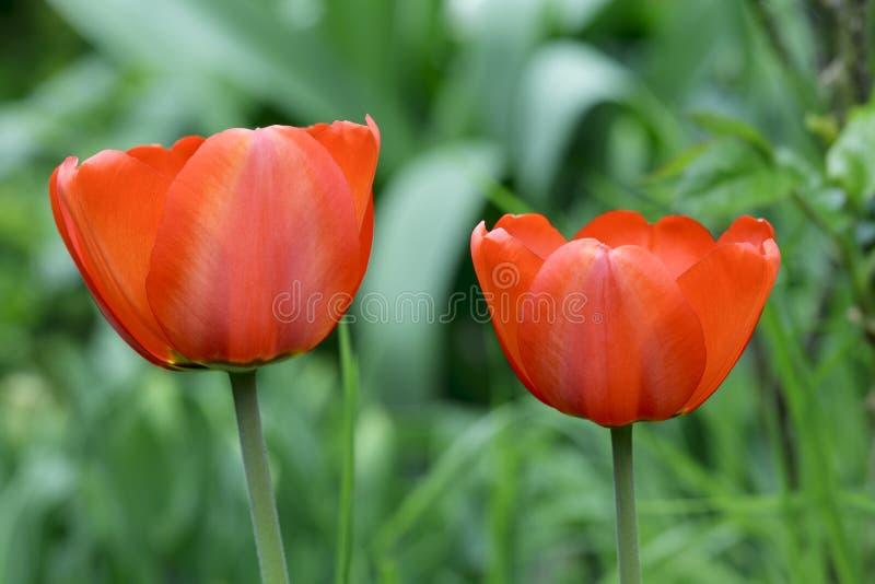 Download Tulip flowers stock image. Image of blooming, tulip, head - 26988947
