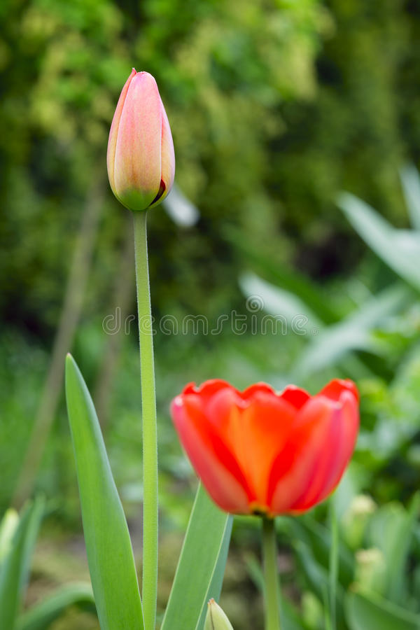 Download Tulip Flowers Royalty Free Stock Photos - Image: 27116448
