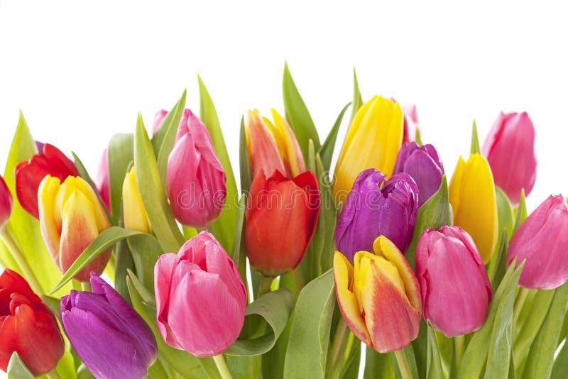 Tulip flowers stock image