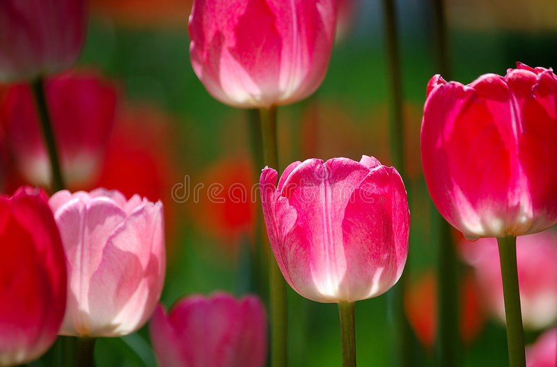 Download Tulip Flowers Royalty Free Stock Images - Image: 5574739
