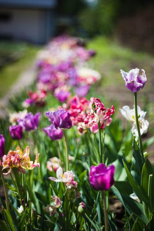 Tulip Flowers Free Public Domain Cc0 Image