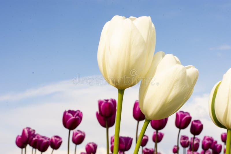 Tulip Flowers blanche centrée avec le fond brouillé du ciel bleu et des fleurs rouges pourpres photo stock