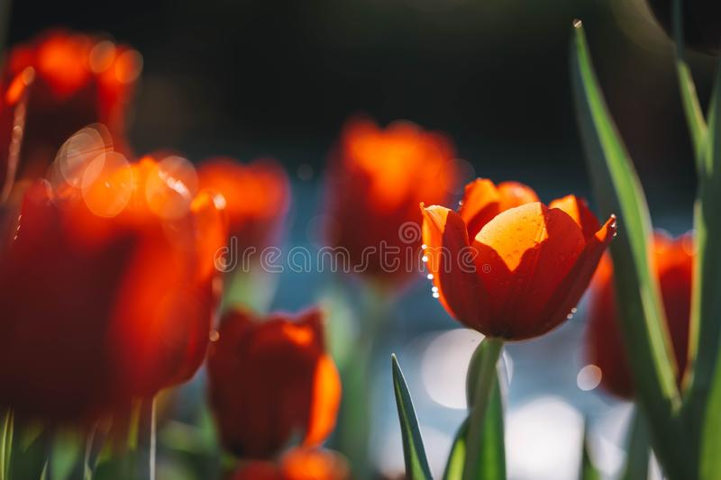 Tulip flowers in close up background stock images