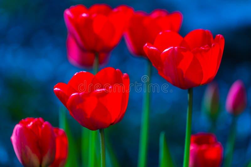 Tulip flowers closeup stock image