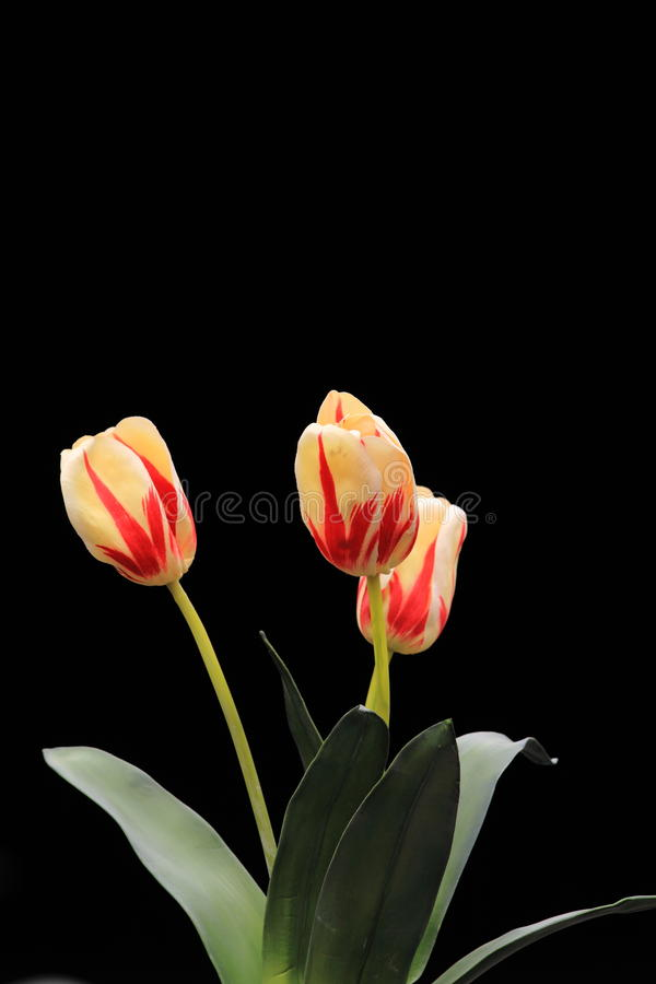 Tulip flowers black background copy space stock images
