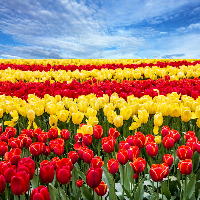 Tulip flowers field and blue sky landscape.  royalty free stock image