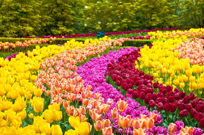 Tulip flowers garden in spring background or pattern. Tulip colorful flowers garden in spring background, pattern or texture stock image