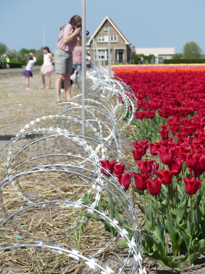 Tulip flowers glowing in warm sunshine fenced off by razor wire and warning no trespass stock photography