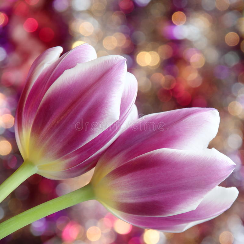 Tulip flowers : Mothers Day Valentines Stock Photos. Tulip flowers - Mothers Day / Valentines Day or Easter Card : purple tulips on gold pink background stock photos