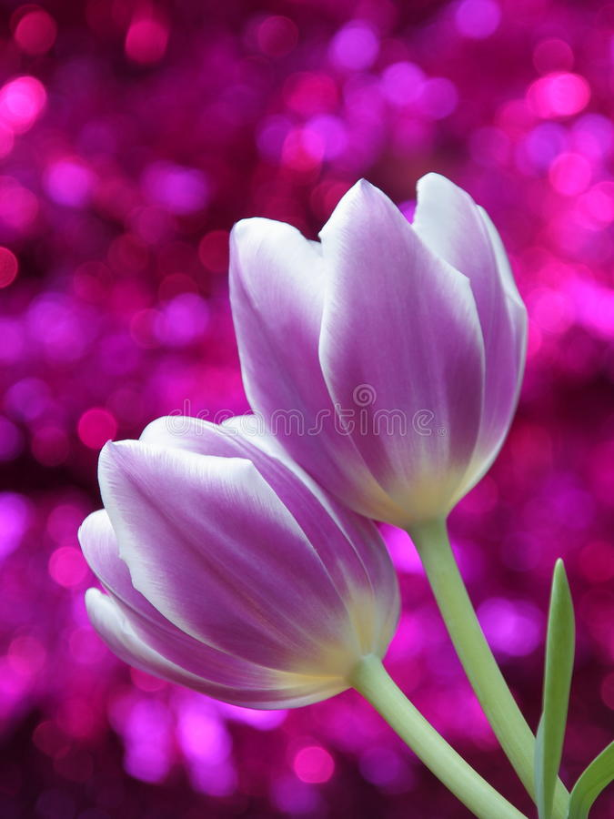 Tulip flowers : Mothers Day Valentines Stock Photos. Tulip flowers - Mothers Day / Valentines Day or Easter Card : purple tulips on pink blurred background royalty free stock image