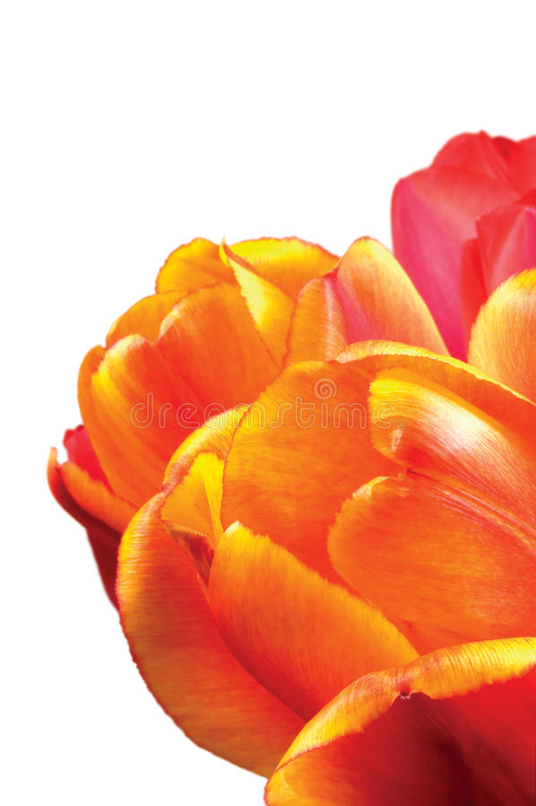 Free Tulip Flowers, Orange, Red And Yellow Petals Closeup, Isolated Vertical Tulips Macro Closeup Royalty Free Stock Photography - 88689767
