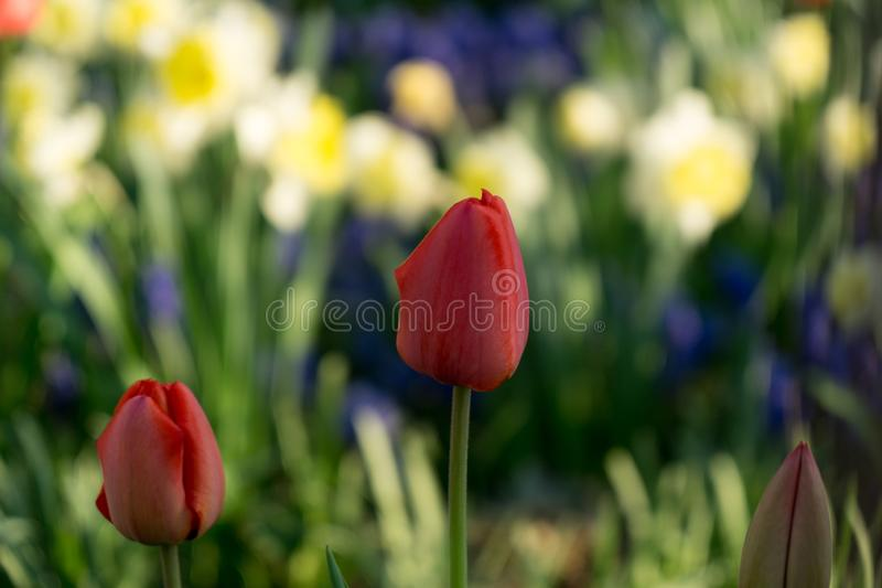 Tulip flowers and other spring flowers in grass in garden. Slovakia royalty free stock photos