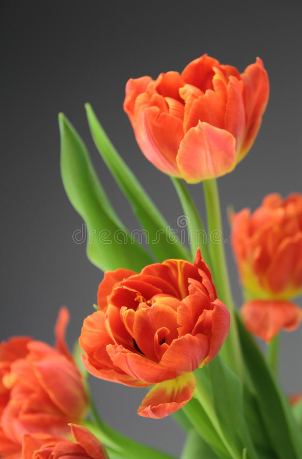 Tulip flowers. Red tulip flowers on dark background stock image