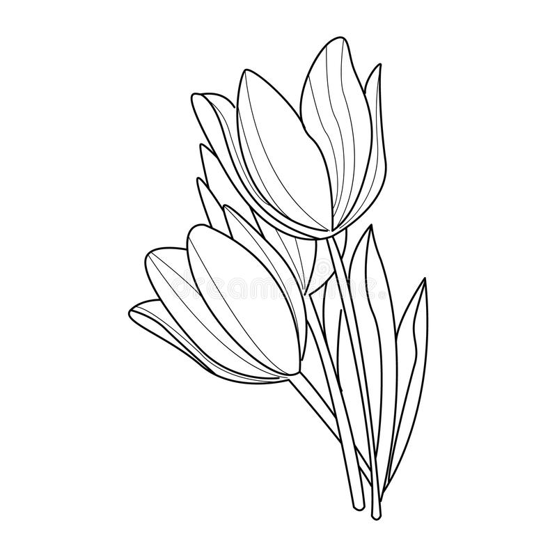 Tulip Flowers Sketch. Vector. Illustration Flower Collection. Hand Drawn Monochrome vector illustration