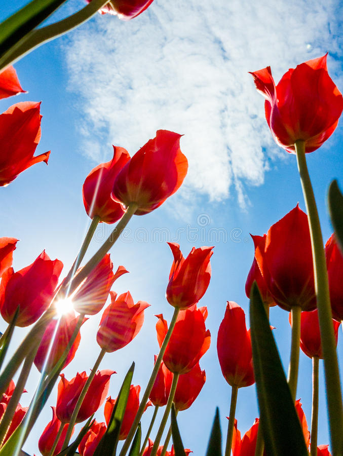 Tulip flowers and solar flare.  stock photography