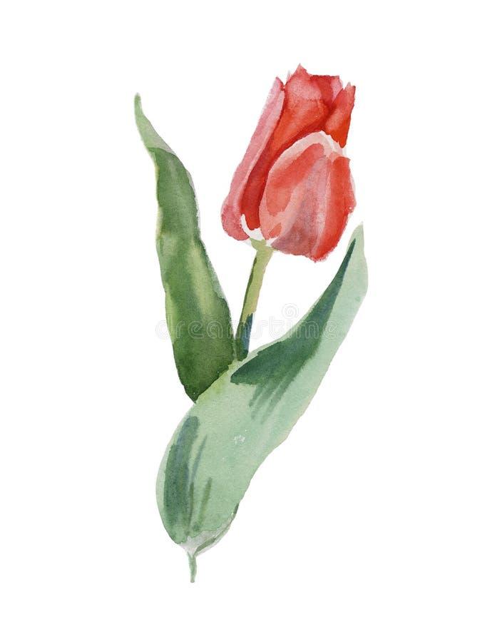 Tulip fresco ilustração stock