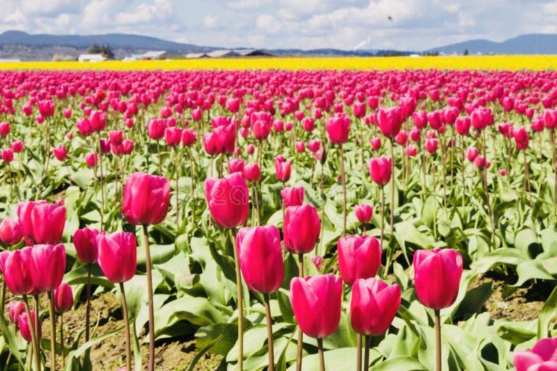 Tulip Galore images libres de droits
