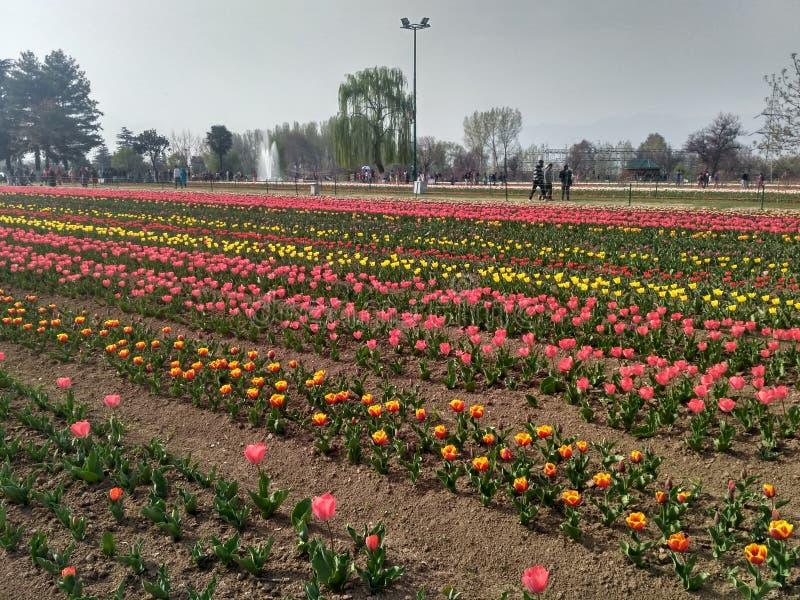 Tulip Garden foto de stock royalty free