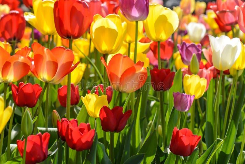 Tulip Garden lizenzfreies stockfoto