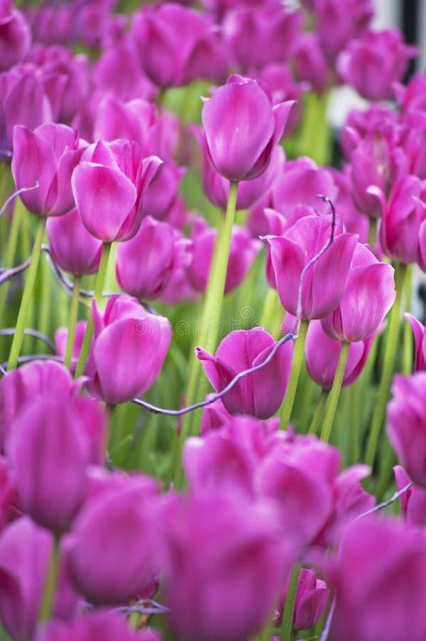 Tulip Garden stock foto's