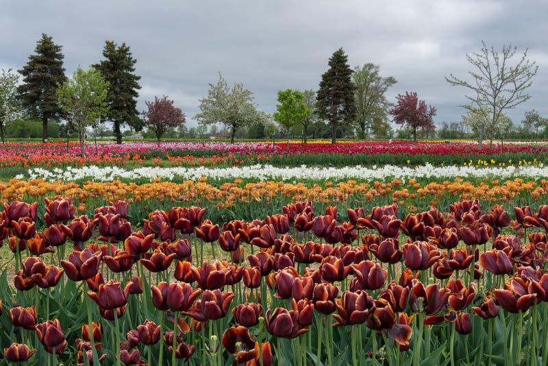 Tulip Garden imagenes de archivo
