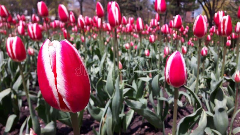 Tulip Garden imagen de archivo libre de regalías
