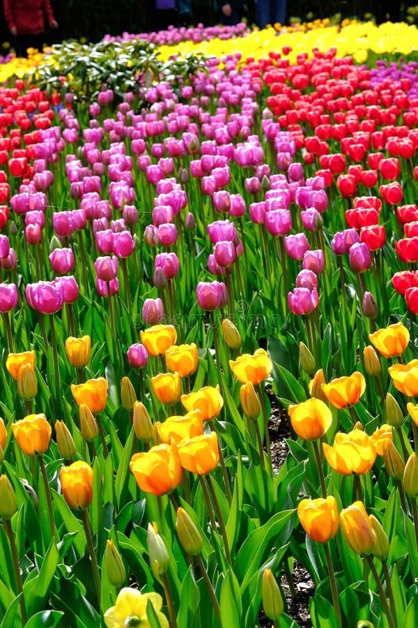 Tulip Garden stock afbeeldingen
