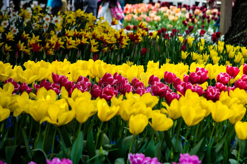Tulip Garden. A tulip Garden blooms with a variety of Tulips during the Skagit Valley Tulip Festival in Washington stock image