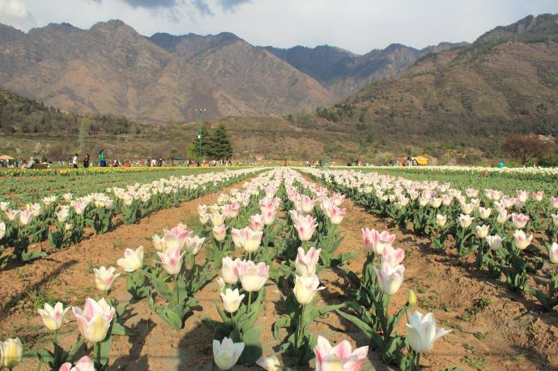 Tulip Garden In Kashmir. royalty free stock photography