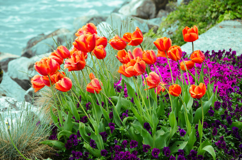 Tulip garden with lake background stock image