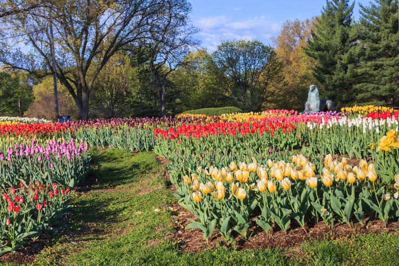 Tulip Garden Netherlands Carillon Arlington Virginia. Tulip garden on the grassy slope at the Netherlands Carillon near one of the bronze lion statues in stock photography