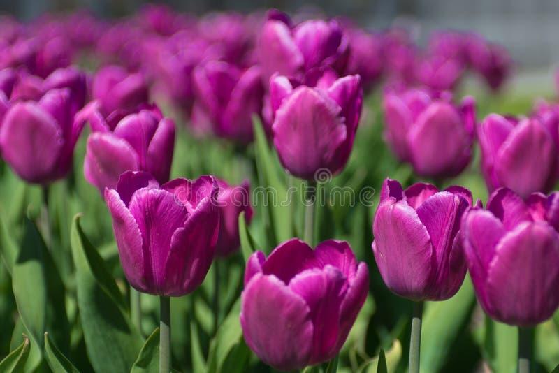 Tulip garden park royalty free stock photography