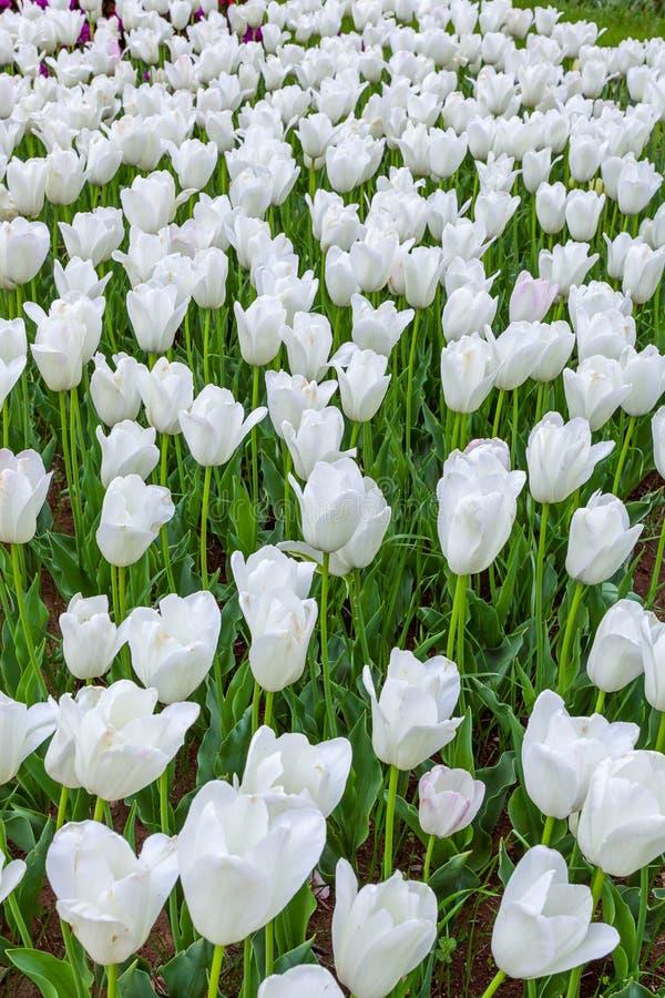 Tulip. royalty free stock photos