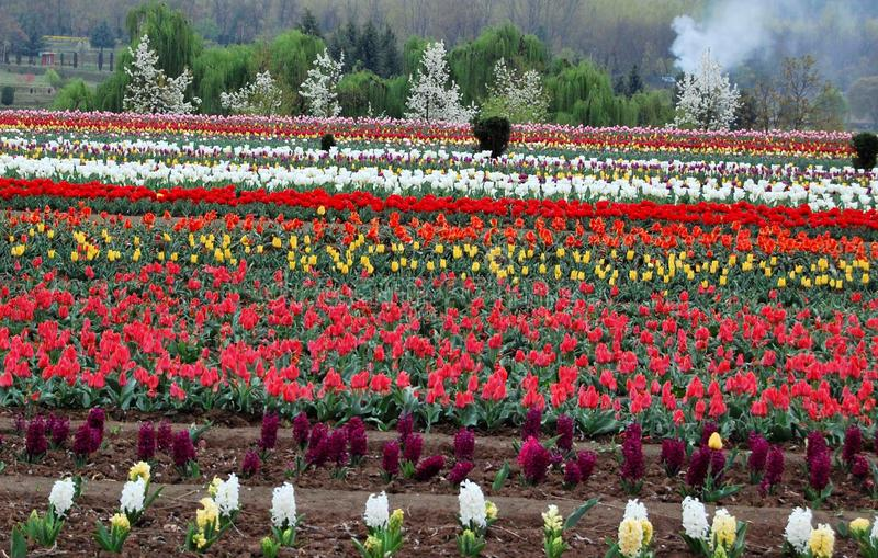 Tulip Garden Srinagar, Jammu e Caxemira imagens de stock