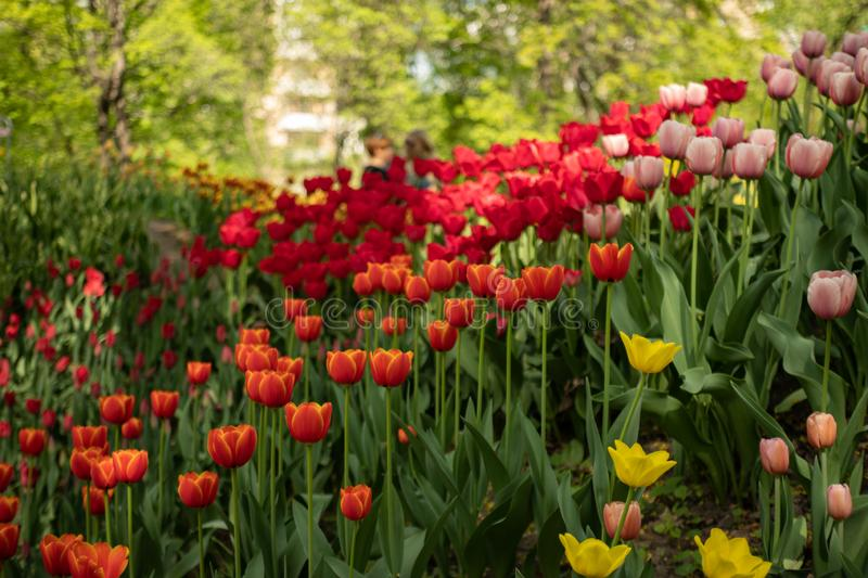 Colorful tulips in spring royalty free stock photo