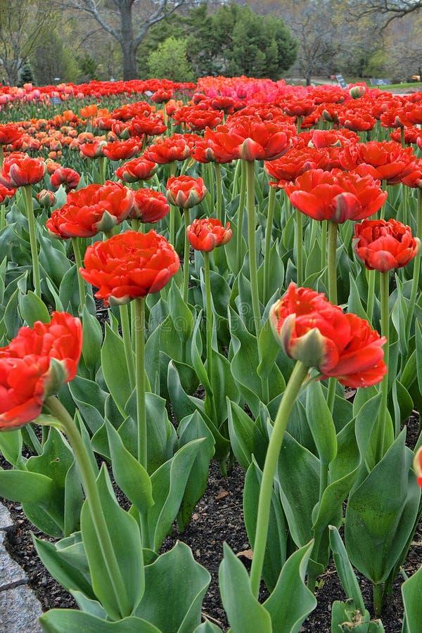 Tulip Garden 2 stock images