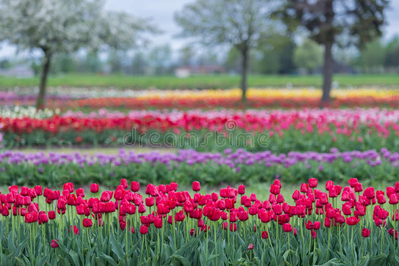 Tulip Gardens fotografía de archivo libre de regalías