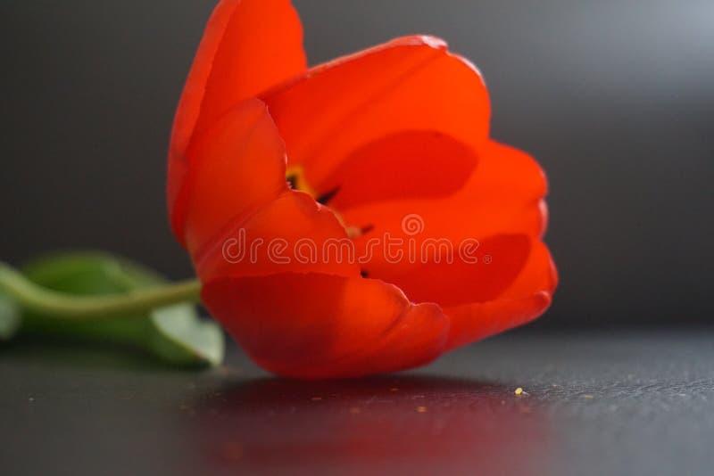 Tulip With Glitter immagine stock libera da diritti