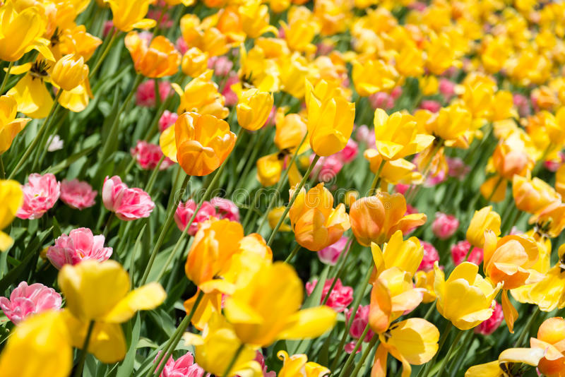 Tulip Heaven immagine stock