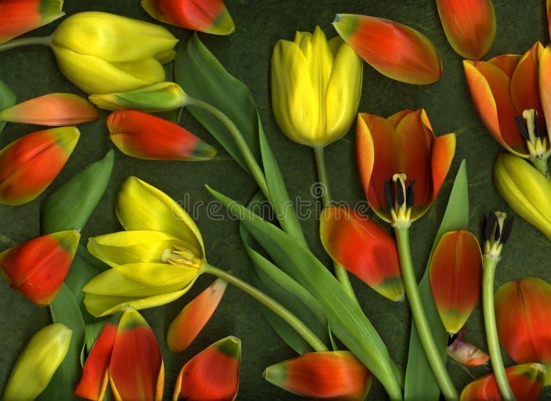 Tulip illustration royalty free stock photography