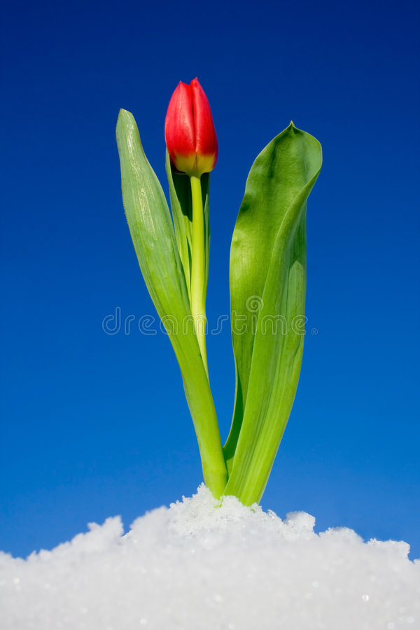 Free Tulip In The Snow Stock Photo - 3793140