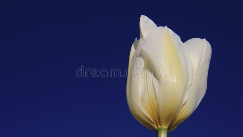Tulip With Indigo Blue Sky bianca germogliante fotografia stock