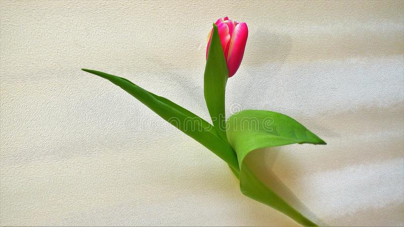 Tulip isolado no fundo branco fotografia de stock royalty free