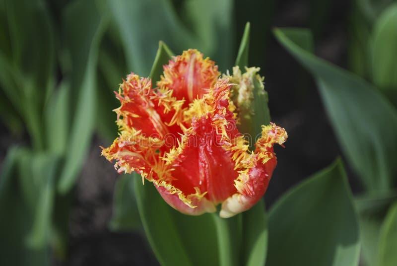 Tulip Joint Devison Fringed Group växer i blomsterrabatten royaltyfri bild